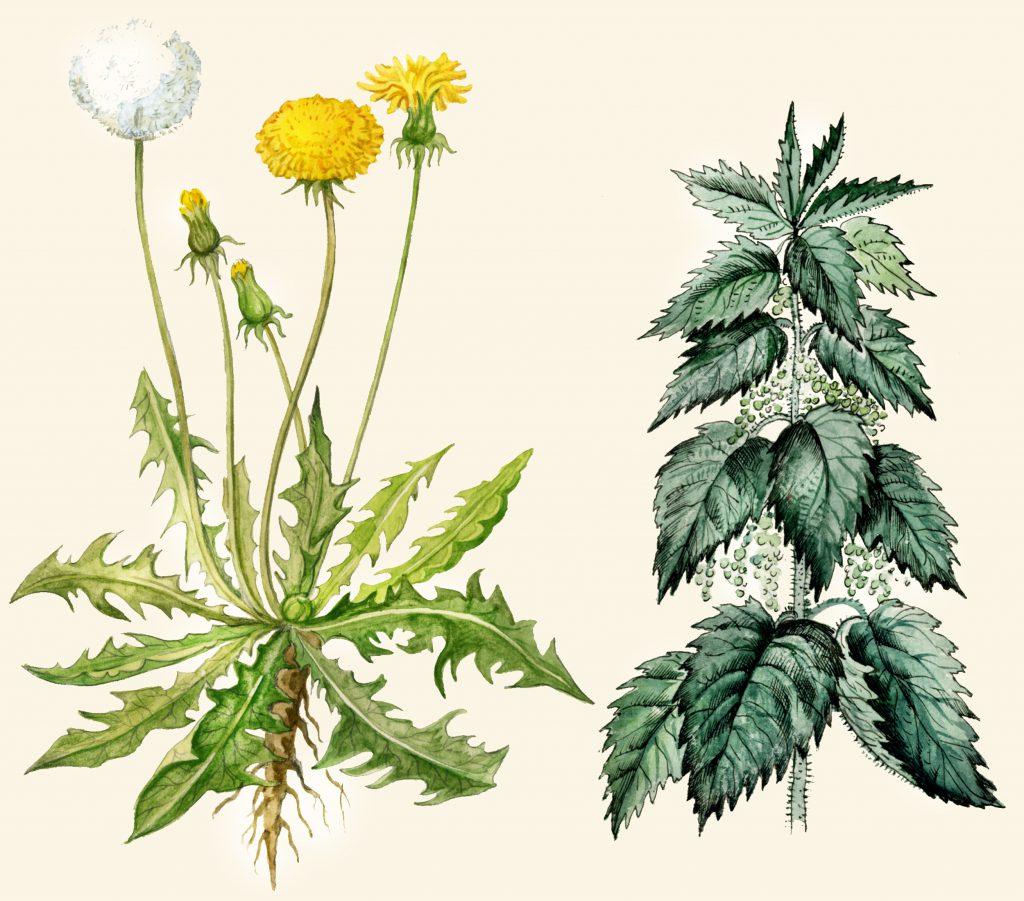 Verschiedene Heilpflanzen können gegen die Gelenkschmerzen helfen. Löwenzahn und Brennnesseln haben sich hier besonders bewährt. (Bild: shibanuk/fotolia.com)