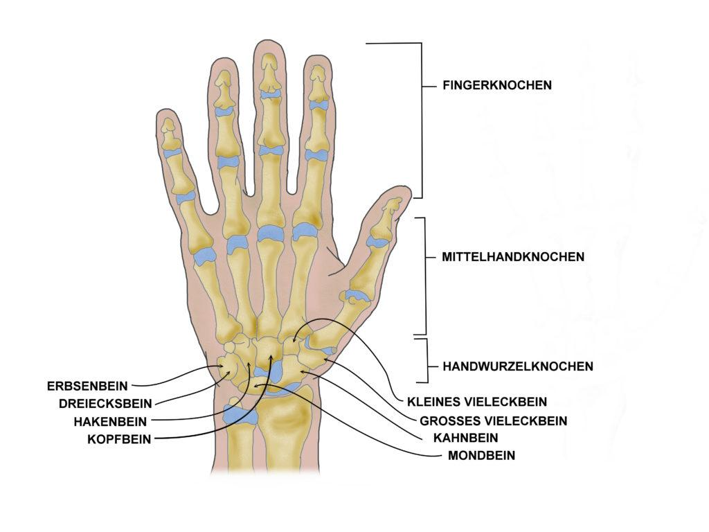 Nekrosen können theoretisch an sämtlichen Hand- und Fingerknochen auftreten. Eine Spezielle Form ist die aseptische Kahnbeinnekrose, welche auch als Morbus Preiser bezeichnet wird. (Bild: elvira gerecht/fotolia.com)