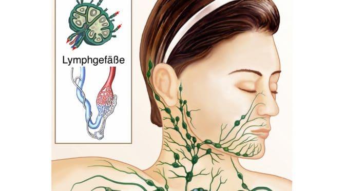 Das Bild zeigt die Lymphe, die seitlich am Hals verlaufen.