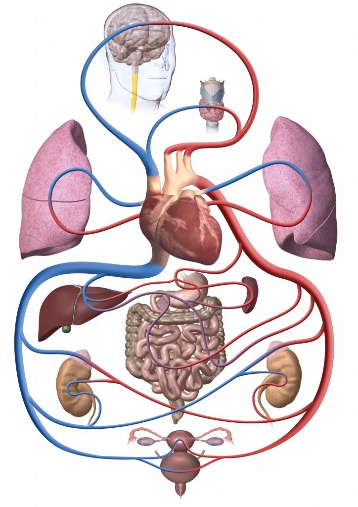 Schematische Darstellung des Blutkreislaufs, welches die Versorgung der Organe mit Blut zeigt