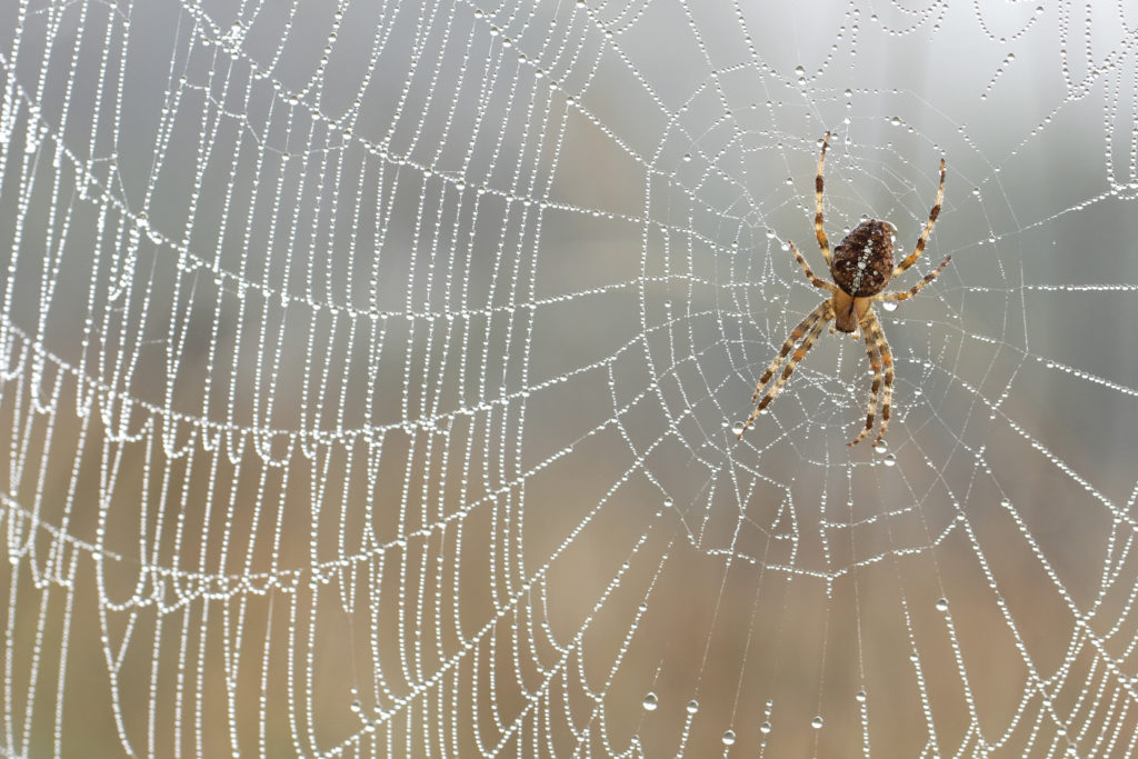 Der Anblick von Spinnen versetzt manche Menschen in regelrechte Panik, die auch körperliche Symptome mit sich bringen kann. (Bild: butterfly-photos.org/fotolia.com)