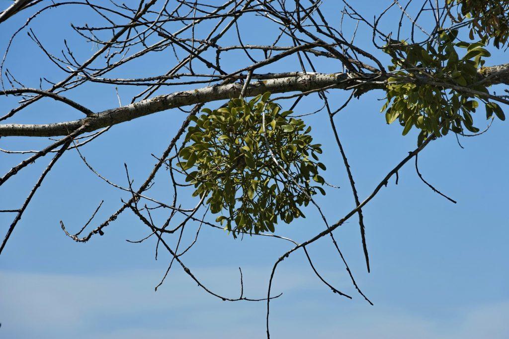 Im Winter sind Misteln in Laubbäumen schon von Weitem zu erkennen. (Bild: vili45/fotolia.com)