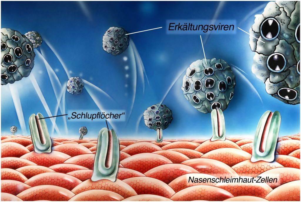 Sieg ueber den Schnupfen, Krieg der Viren, bei 33 Grad fuehlen sich die Viren wohl
