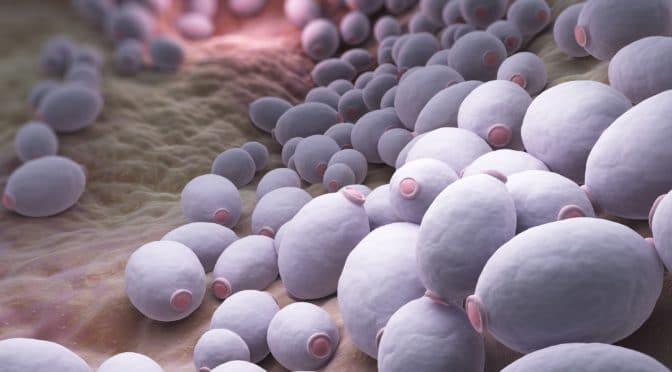 Eine Anreicherung des Darmpilzes Candida albicans