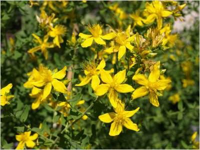 johanneskraut-arzneipflanze