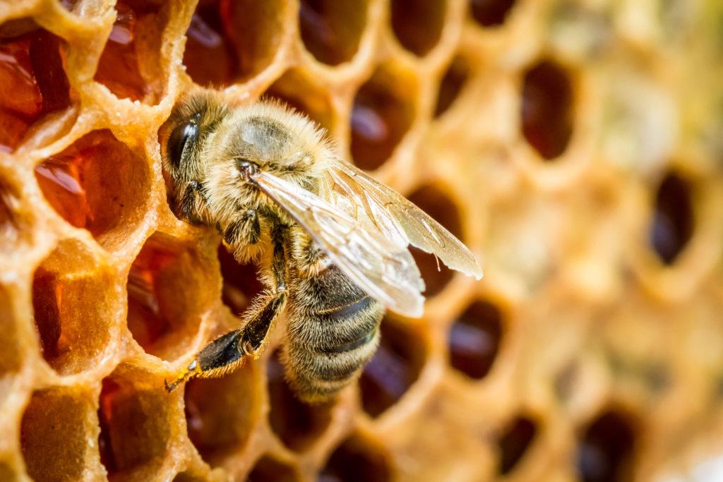 Das Bienenkittharz Propolis stellt aufgrund seiner wertvollen Inhaltsstoffe ein beliebtes Hausmittel gegen Pickel und Akne dar. (Bild: shaiith/fotolia.com)