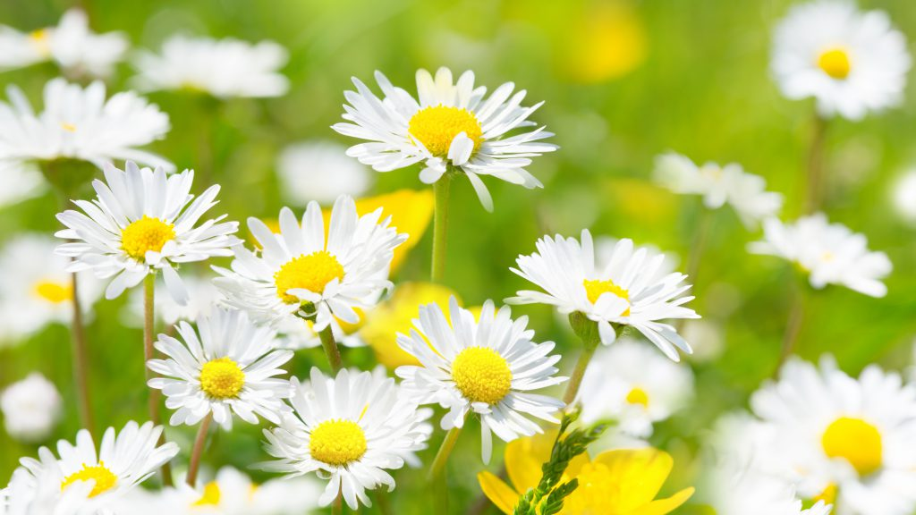 Ein Tee mit Gänseblümchen hilft von innen heraus bei Unreinheiten und fettiger Haut. (Bild: Floydine/fotolia.com)