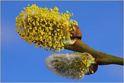 pollen-flug-2015