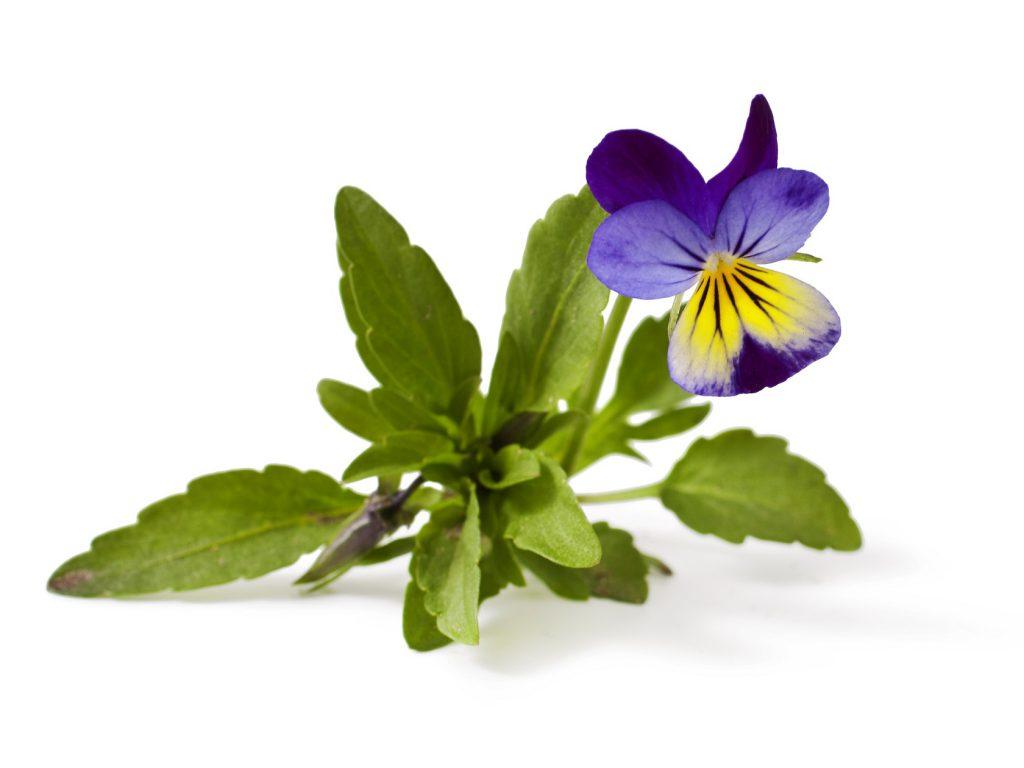Ein Tee aus dem Kraut des Stiefmütterchens kann die unangenehmen Schmerzen lindern. (Bild: multik79/fotolia.com)