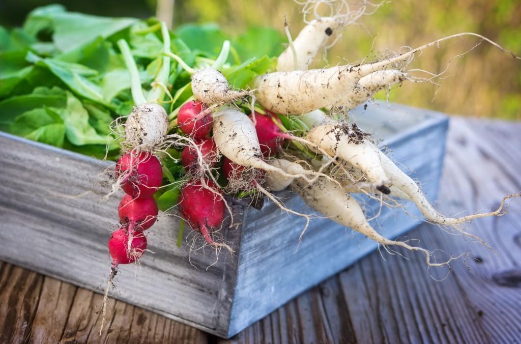 Reich an Vitamine und gesunden Inhaltsstoffen: Die Radieschen. Bild: fotoknips/fotolia