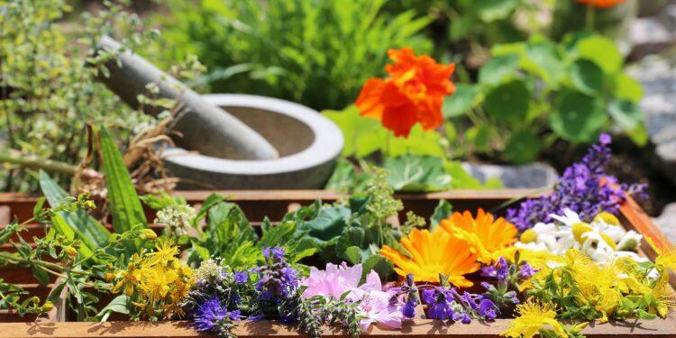 Verschiedene Heilpflanzen in einer Holzkiste mit Mörser und Stößel im Hintergrund