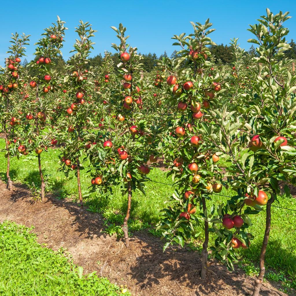 Apfelbume, Obstplantage, Landwirtschaft, Sommer