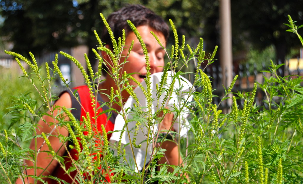Stärkste allergene Pflanze: Die Ambrosia. (Bild: stadelpeter - Fotolia)