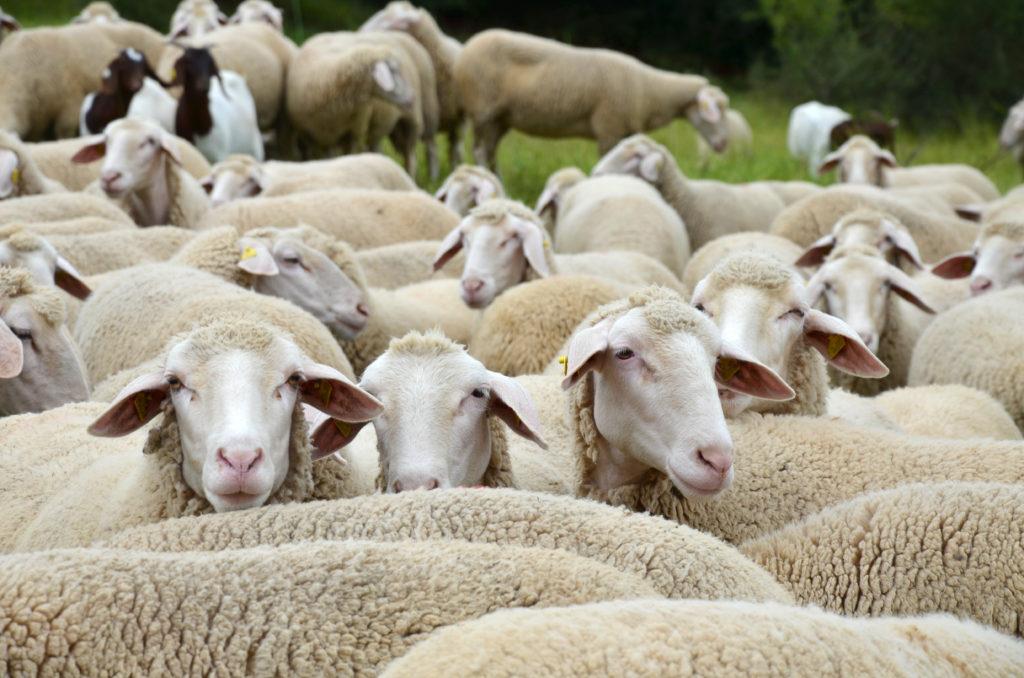 Schafe bilden wahrscheinlich die Infektionsquelle der aktuellen Q-Fieber-Fälle in Horb am Neckar. (Bild: Andrea Wilhelm/fotolia.com)