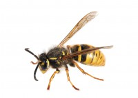 Wasp. (Paravespula germanica)