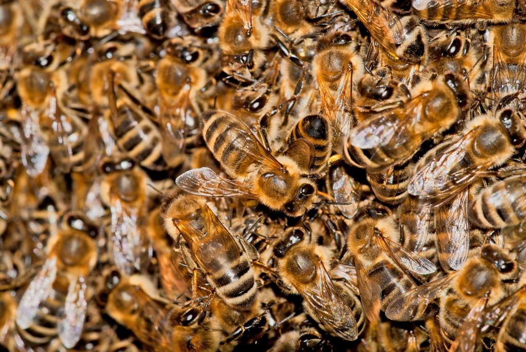 Gewusel in Schwarmtraube eines wilden Bienevolks