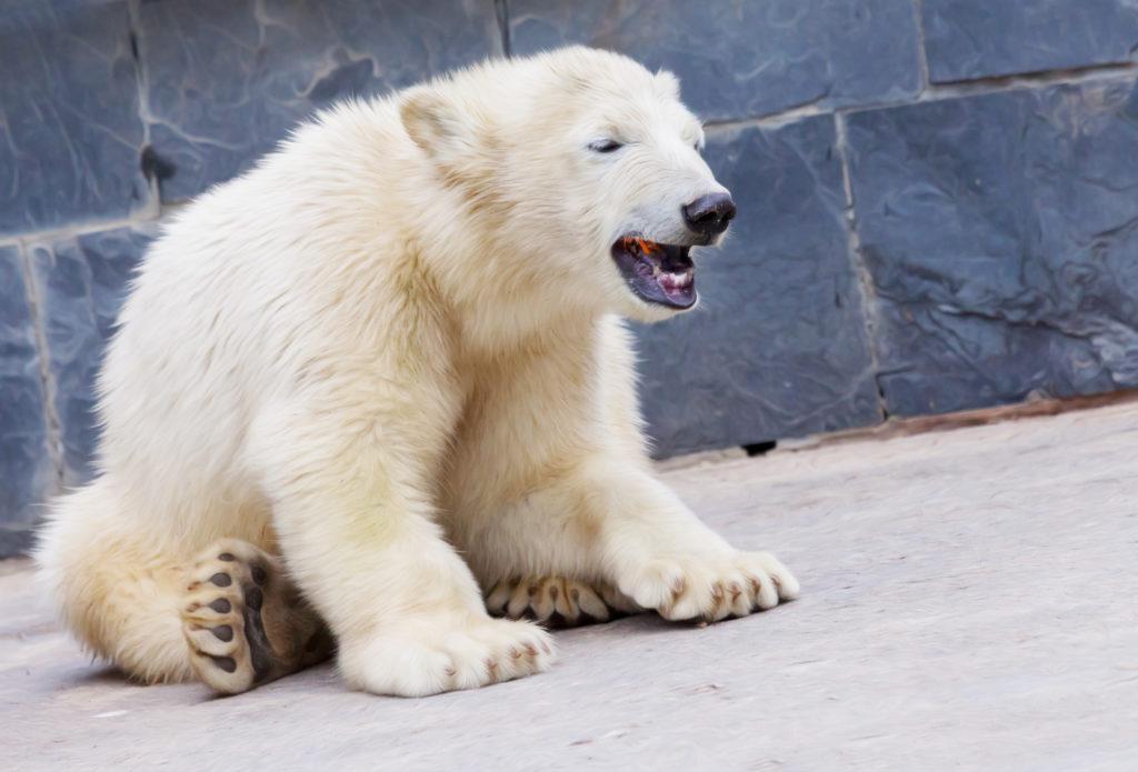 Die Todesursache des Eisbären Knut war eine spezielle Autoimmunerkrankung. (Bild: Hüttenhölscher/fotolia.com)