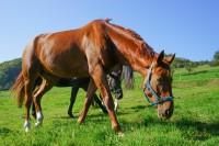 Nachdem in Bayern mehrere Fälle der Pferdeseuche nachgewiesen wurden, bestehe Angst vor einer Ausbreitung der Seuche. (Bild: countrypixel/fotolia.com)