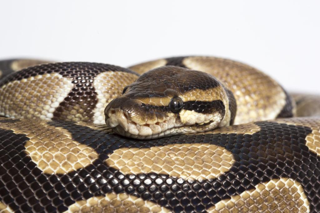 Reptilien können als Haustiere auch aufgrund der Belastung mit Salmonellen durchaus gefährlich werden. (Bild: Mitmachfoto/fotolia.com)