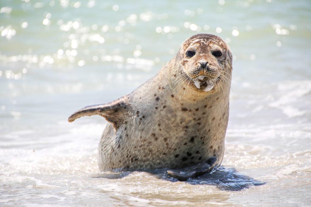 Forscher haben Hepatitis-A-Viren in Robben nachgewiesen. (Bild: Christian Colista/fotolia.com)