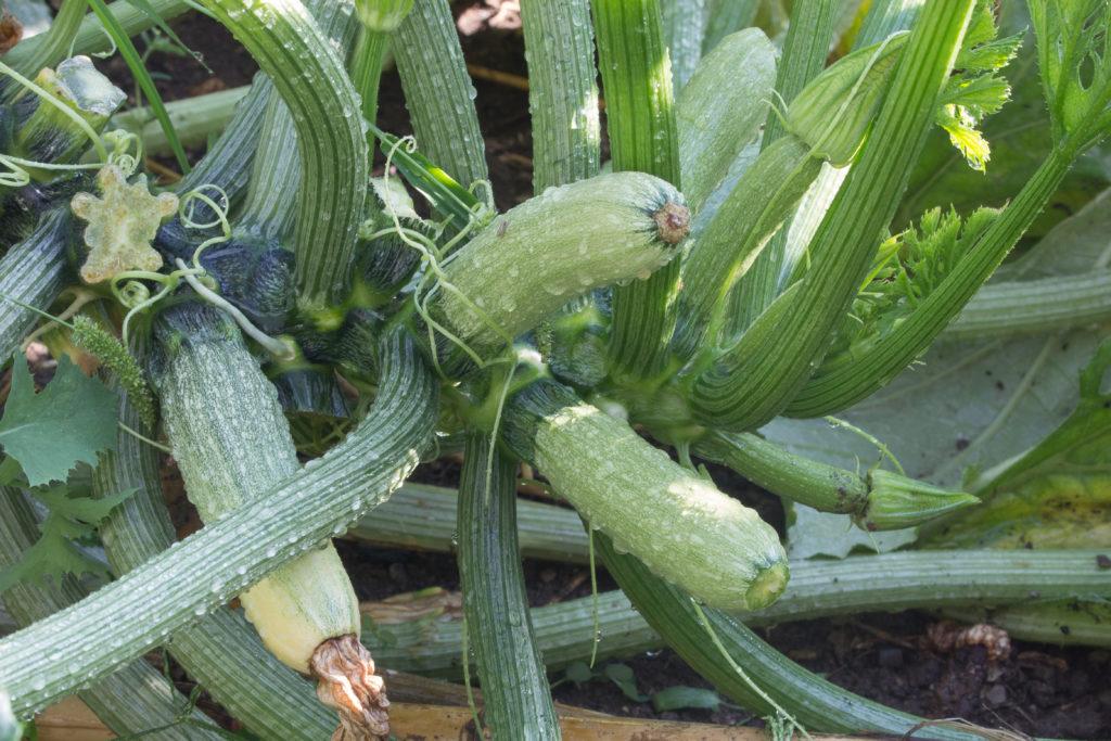 Zucchini und andere selbst angebaute Pflanzen können Giftstoffe enthalten. (Bild: Angelaravaioli/fotolia.com)