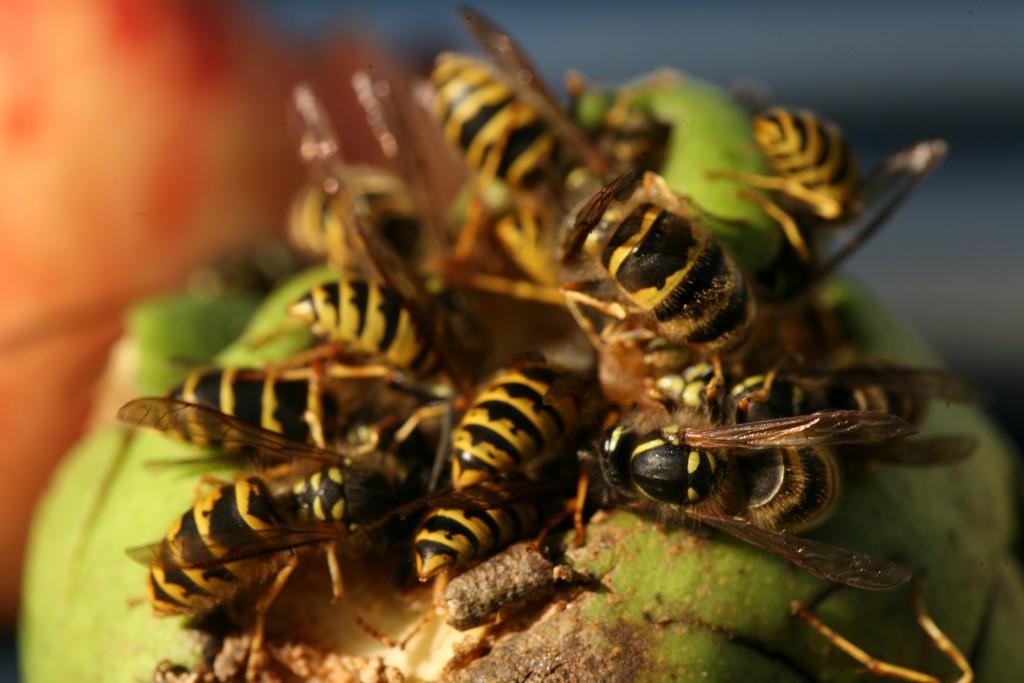 Wespenplage: Immer mehr Klinikbehandlungen wegen Insektenstichen. Bild: Martina Berg - fotolia