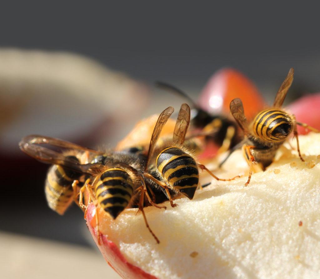 Wespen Tricks Natürliche Hausmittel Gegen Die Jetztige Wespenplage