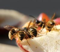 Welche Naturmittel gegen Wespen helfen. Bild: Anterovium - fotolia