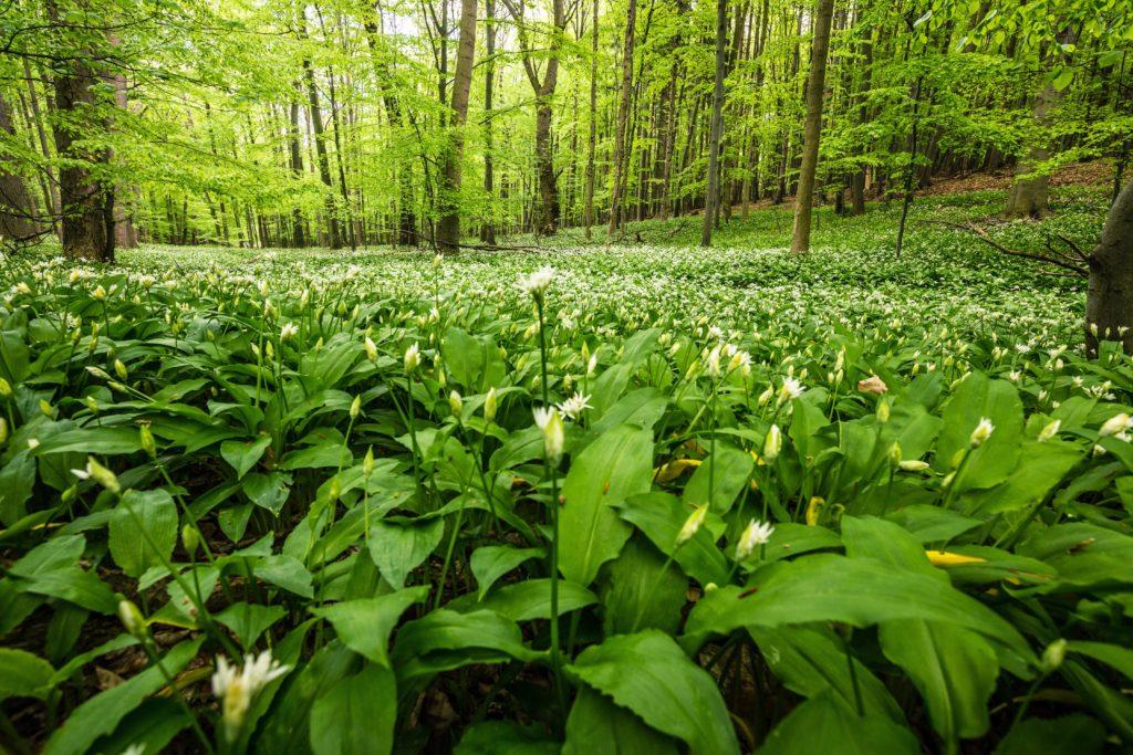 Bärlauch kann vielerorts in der freien Natur geerntet werden. (Bild: ferkelraggae/fotolia.com)