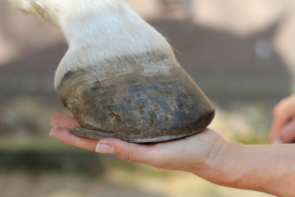 In der Geschichte der Tiermedizin spielte die Pferdeheilkunde anfänglich eine maßgebliche Rolle. (Bild: Sven Cramer/fotolia.com)