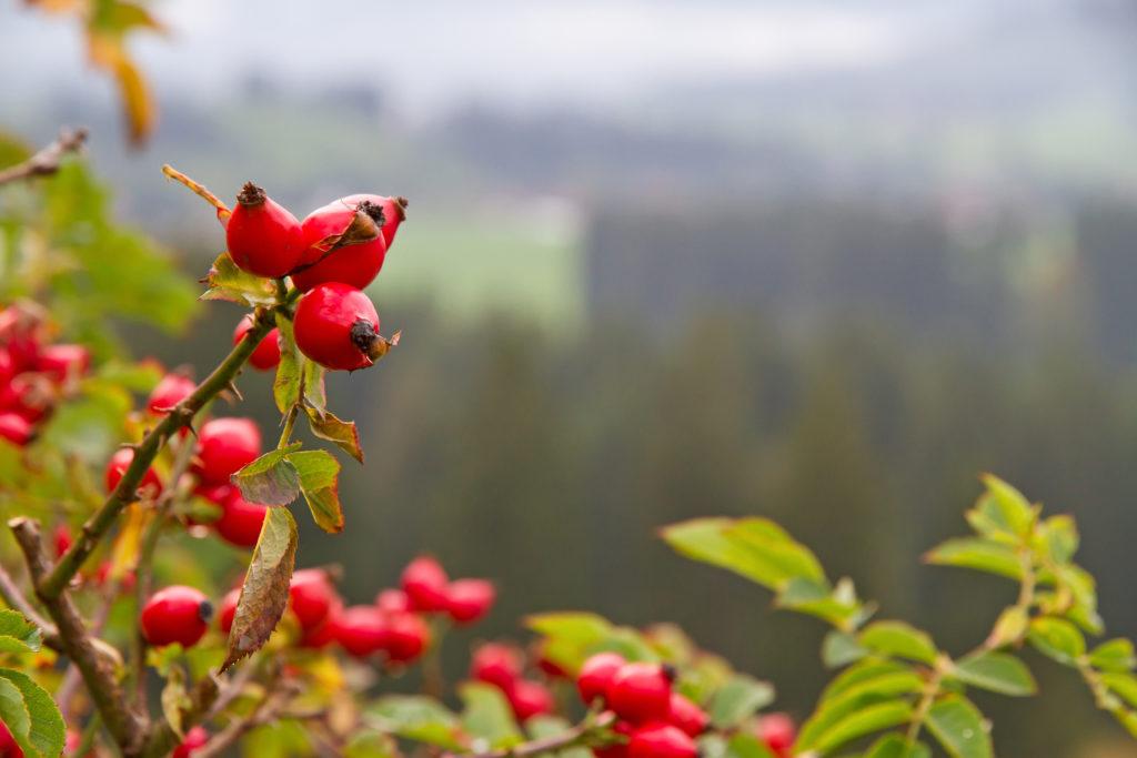 Hagebutten zählen zu den heimischen Gewächsen, die auf natürliche Weise zur Stärkung der Abwehrkräfte beitragen können. (Bild: Jürgen Fälchle/fotolia.com)