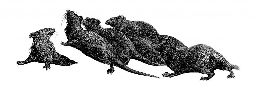 Ratten waren veranntwortlich für die Ausbreitung der Pest während des 14. Jahrhunderts in Europa. (Bild: Erica Guilane-Nachez/fotolia.com)
