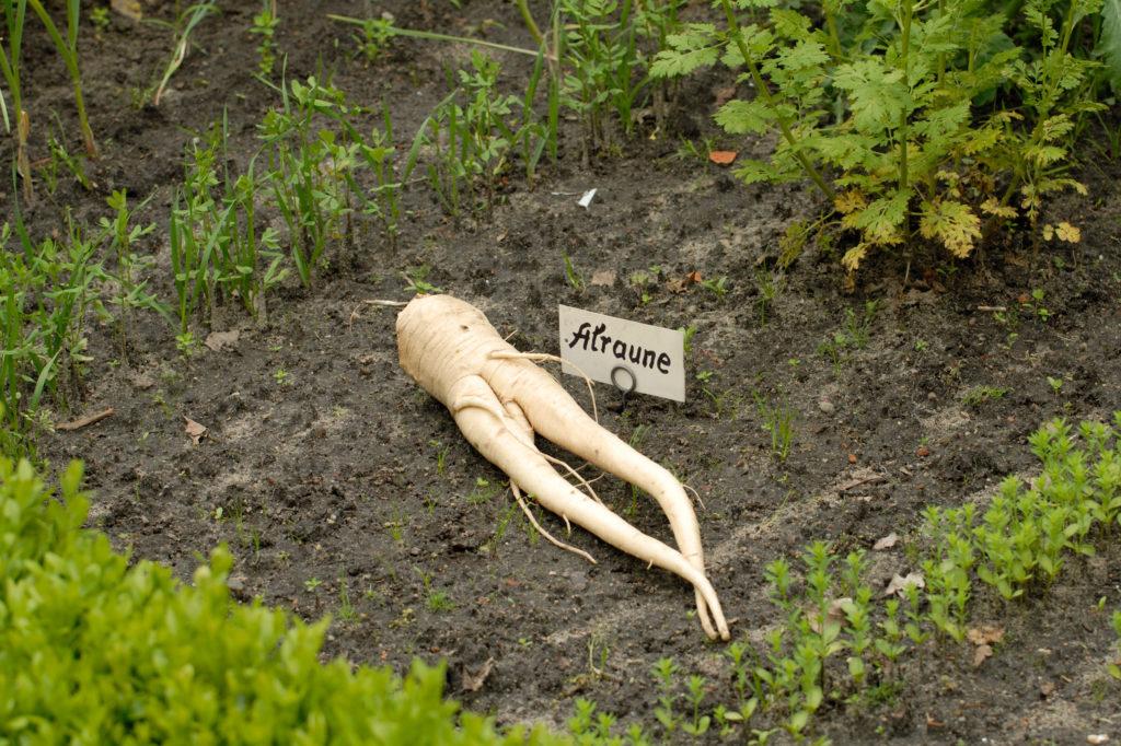 """Die Alraune ist eine der bekanntesten """"magischen"""" Pflanzen. (Bild: FRÜH/fotolia.com)"""