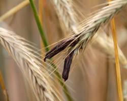 Mutterkorn führt zu Vergiftungen, die mit schweren Wahnzuständen einhergehen können. (Bild: Martina Berg/fotolia.com)