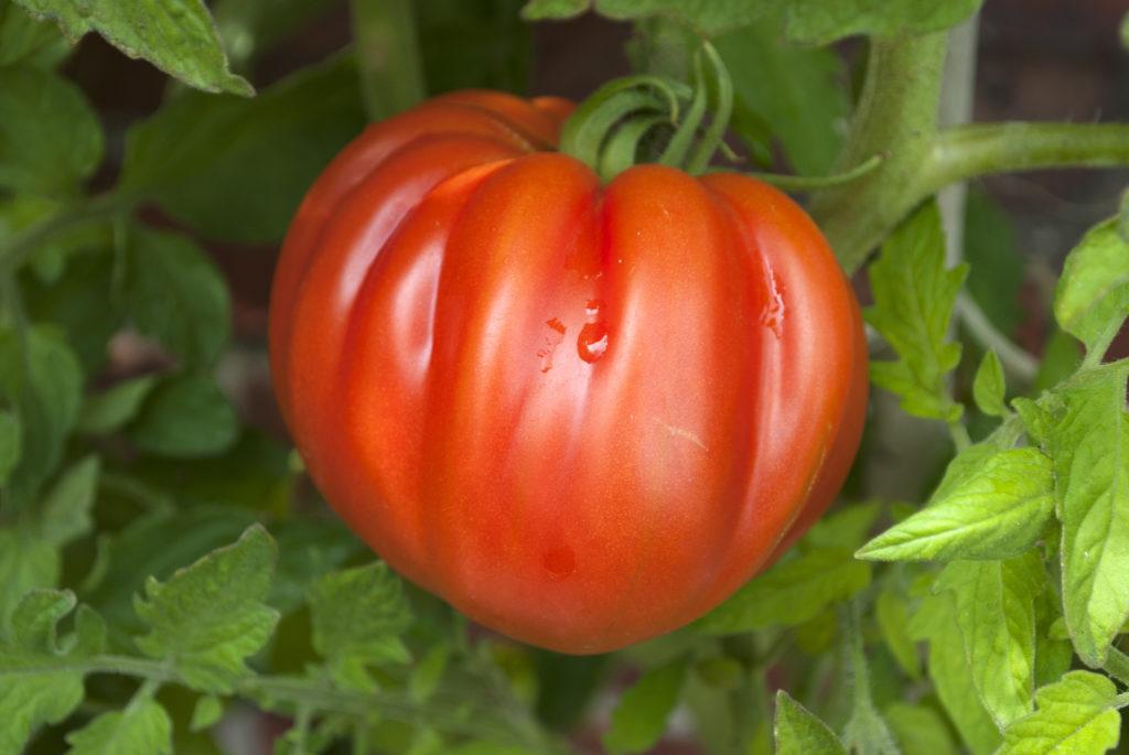 Die Blätter von Tomaten fangen schnell Pilz ein. Bild: bidaya - fotolia