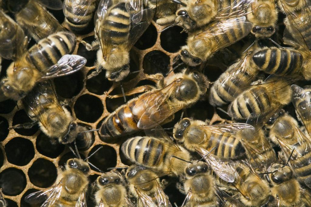 Manche Insektizide bedingen ein Sterben der Bienenköniginnen. (Bild: Heinz Waldukat/fotolia.com)