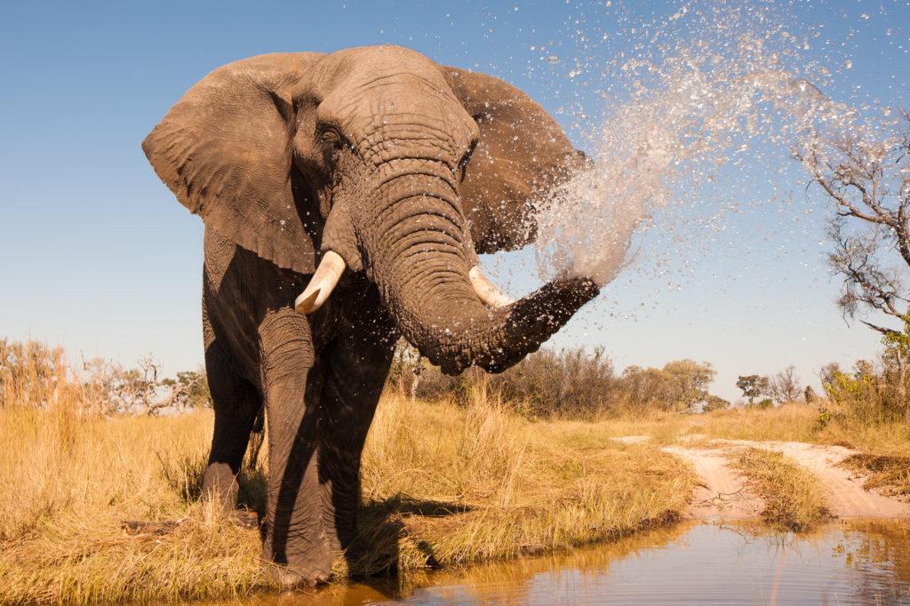 Bestimmte Gene schützen Elefanten vor Krebs. (Bild: donvanstaden/fotolia.com)