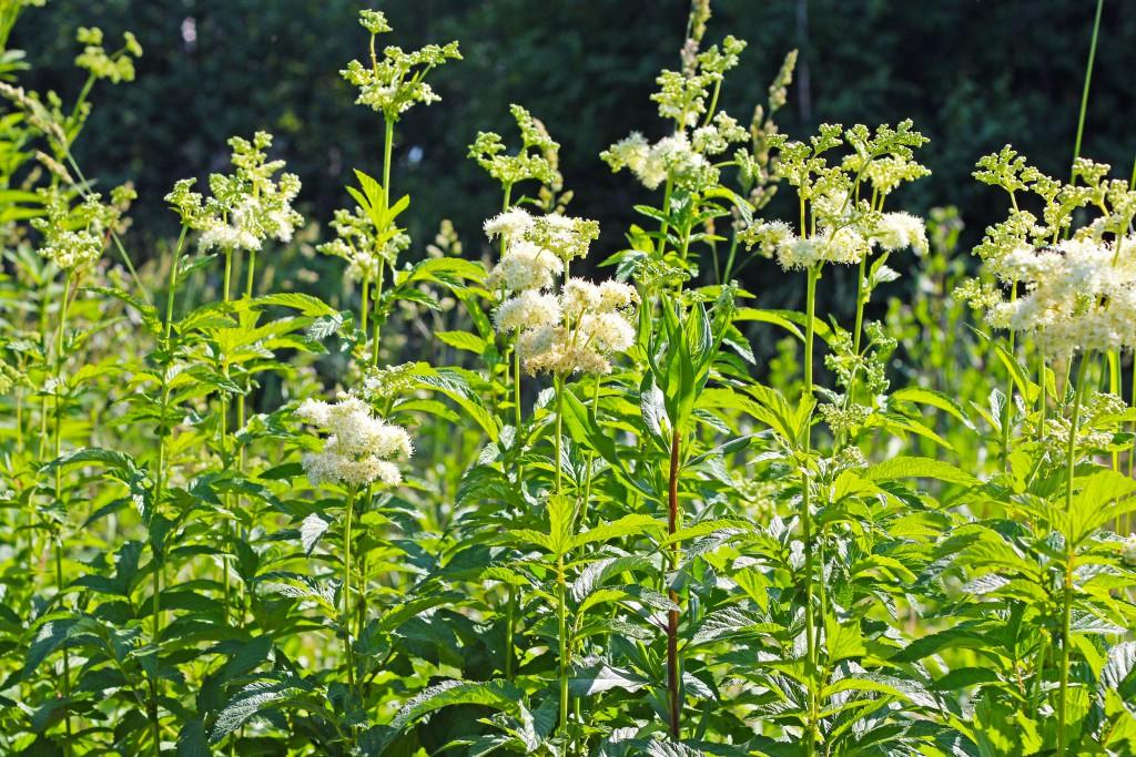 Heilpflanze Mädesüß. Bild: shustrik95 - fotolia