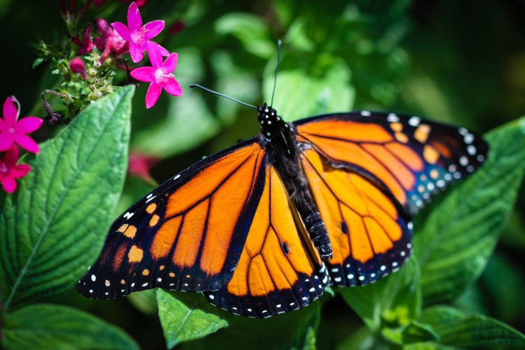 Monarchfalter schützen ihren Nachwuchs auf natürliche Weise vor Parasiten. (Bild: Georg Lehnerer/fotolia.com)