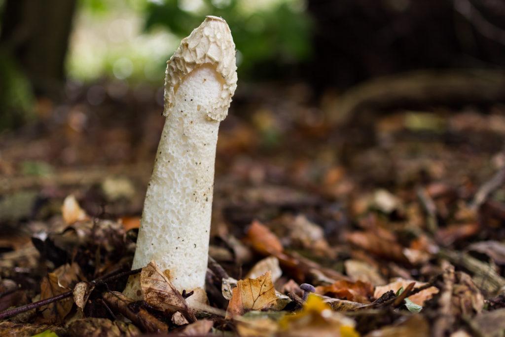 Kann der Geruch von Stinkmorcheln bei Frauen einen Orgasmus auslösen? (Bild: m.Schumann/fotolia.com)