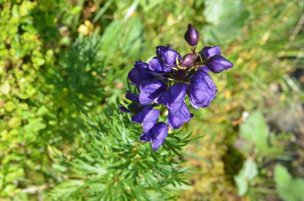Blauer Eisenhut gilt als giftigste Pflanze Europas. (Bild: photo 5000/fotolia.com)