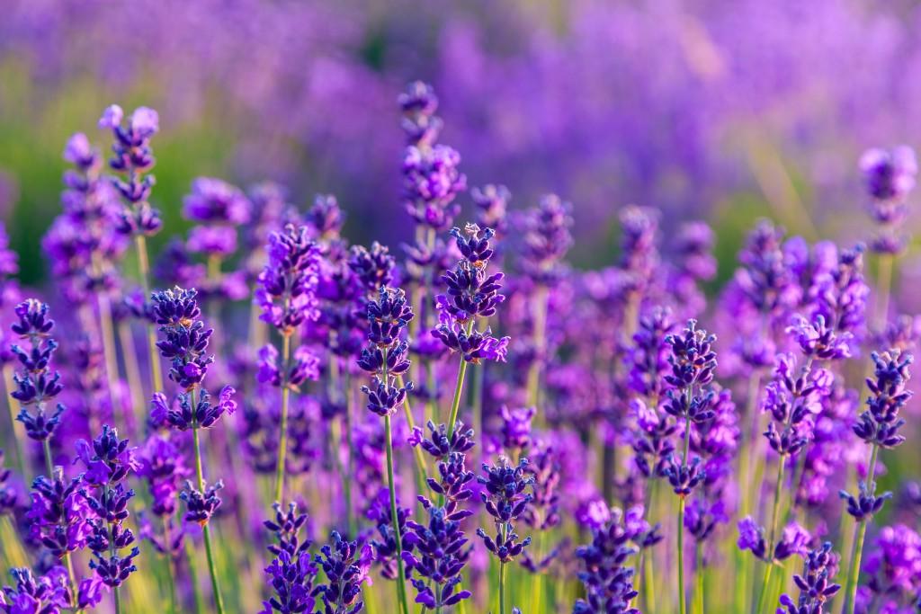 Lavendel lindert depressive Verstimmungen. Bild: Kavita - fotolia