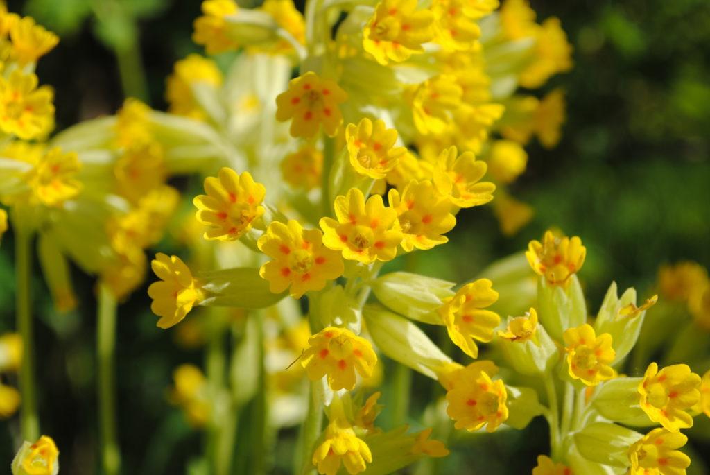 Echte Schlüsselblume Blumes des Jahres 2016. Bild: tinadefortunata - fotolia