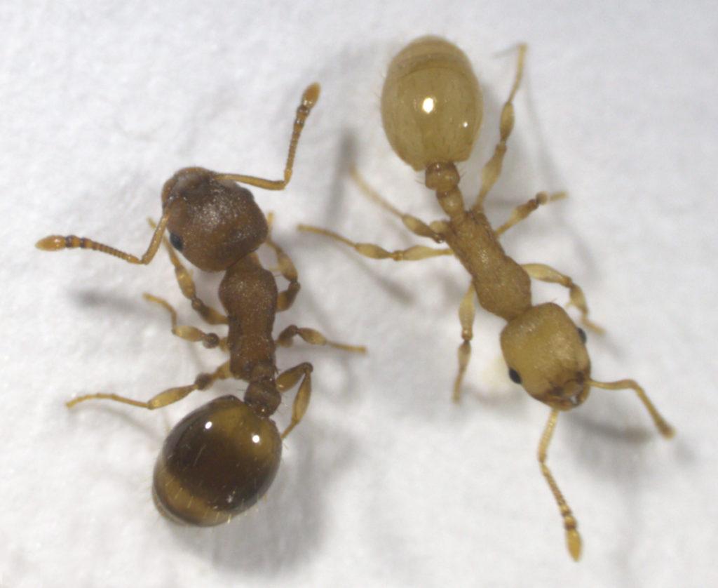Die Bandwurminfektion ist bei Ameisen bereits äußerlich erkennbar. Die Parasiten bedingen zudem weitreichende Verhaltensänderungen in der gesamten Kolonie. (Foto: Susanne Foitzik/ Johannes Gutenberg-Universität Mainz )
