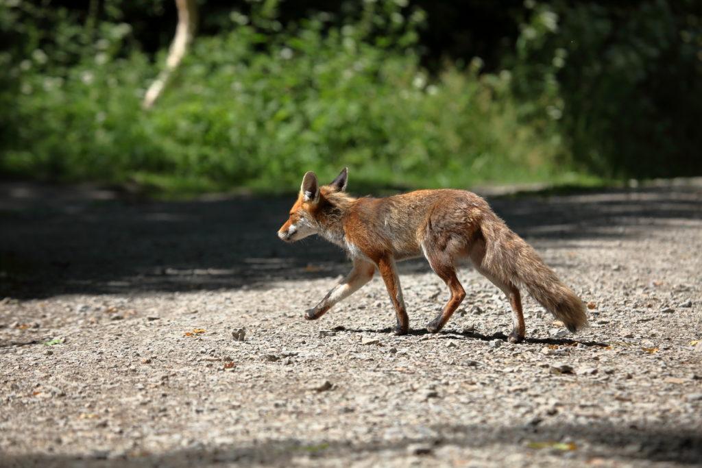 Mit der Anpassung von Füchsen an das Stadtleben steigt auch in den Städten das Risiko eines Fuchsbandwurm-Befalls. (Bild: hecke71/fotolia.com)