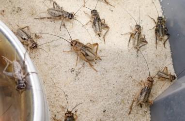 Futterheuschrecken für Reptilien können Allergien auslösen. (Bild: Michael Tieck/fotolia.co)