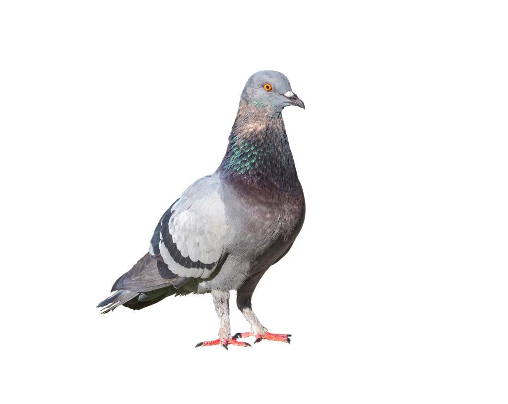 Die visuellen Fähigkeiten von Tauben könnten auch in der Medizin hilfreich sein. (Bild: missisya/fotolia.com)