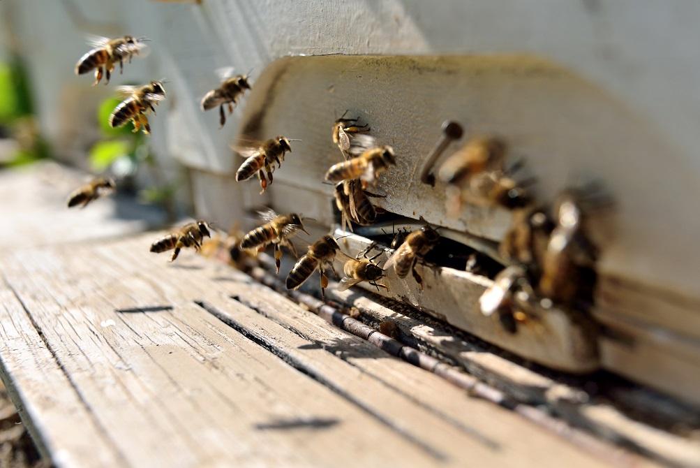 Bienentherapie von Behörden untersagt. Bild: hikrcn - fotolia