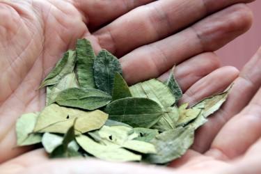 Koka-Blätter sind für Ureinwohner eine heilende und schmerzlindernde Medizin. Meist werden sie gekaut oder als Tee aufgebrüht. Bild: RioPatuca Images - fotolia