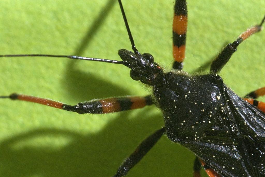 Raubwanzen sind maßgeblich für die Übertragung der Chagas-Krankheit verantwortlich. (Bild: fancyfocus/fotolia.com)